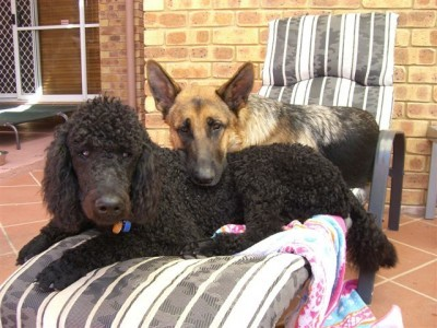 Axel with poodle mate